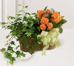The FTD? Kalanchoe & Ivy Planter